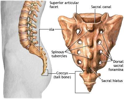 anatomy of the ending of spinal column and coccygeal bone
